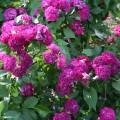 фото розы Blue Magenta. Блю Маджента