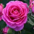 фото розы Claire Marshall. Клер Маршалл