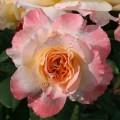 Фото розы сорта Aquarell. Акварель