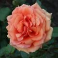 фото розы Ashram. Ашрам