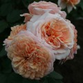 сорт розы фото Charles Austin Чарльз Остин