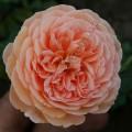 фото сорт розы Crown Princess Margaretha Краун Принцесс Маргарет