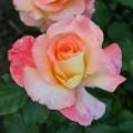 фото розы Trinidad. Тринидат