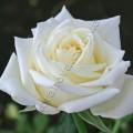 Фото розы Boeing. Боинг