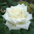 фото сорт розы Boeing. Боинг