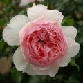 фото розы The Wedgwood Rose. Зе Веджвуд Роуз