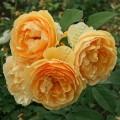 Фото розы сорта Molineux. Молинекс