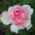 фото розы Honore de Balzac. Оноре де Бальзак