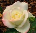 фото розы Атен