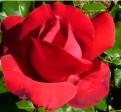 роза La Marseillaise