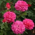 фото роз сорта Sophy's Rose. Софиз роза
