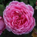 фото розы Alan Titchmarsh. Алан Титчмарш