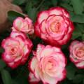 фото сорт розы Jubile du Prince de Monaco. Жюбиле дю Прэнс де Монако