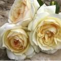 фото розы Чайковский