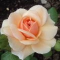 фото розы Elizabeth Stuart. Элизабет Стюарт