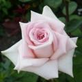 фото розы сорта Emma de Meilland. Эмма де Мейян