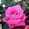 фото розы Peter Frankenfeld. Питер Франкенфельд