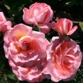 фото розы Paul Shirville. Пол Ширвилл