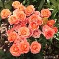фото розы Orange Juwel. Оранж Джевел