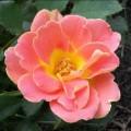 фото розы сорта Pur Caprice. Пур Каприс