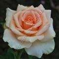 Роза Versilia. Версилия роза сорта