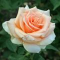 Роза Versilia. Версилия фото розы