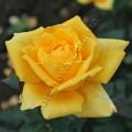 фото сорт розы Golden Medallion Голден Медальон