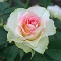 фото чайно-гибридной розы  сорта Малибу Malibu