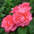 фото розы Aachener Dom. Аашенер Дом