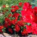 фото розы Alpengl?hen. Альпенглюэн