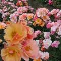 Фото розы Jazz. Джаз