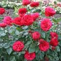 Фото розы Piano. Пиано