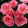 Фото розы Bella Rosa. Белла Роза