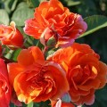 Фото розы Arabia. Арабия