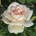 Фото розы Clear Ocean. Клиэ Оушен