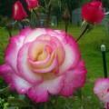 фото розы Handel. Хендель