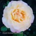 фото розы Gloria Dei. Глория Дей