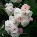 фото розы сорта Букет Парфе