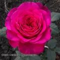 фото розы Big Purple. Биг Пепл