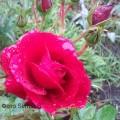 фото розы Хоуп фо Хьюманити