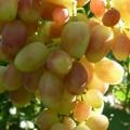 фото винограда Ксения (Анжелика)
