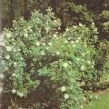 фото розы Rosa X alba suaveolens. Альба суавеоленс