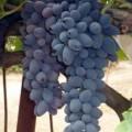 фото винограда сорта Виерул-59