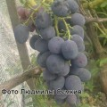 фото винограда Сфинкс