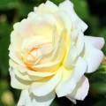 фото розы Hermann-Hesse-Rose. Херманн-Хессе-Роуз