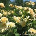 Фото розы :Teasing Georgia. Тисинг Джорджия