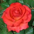 фото розы сорта Terracotta. Терракотта