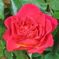 Роза La Passionata. Ля Пассионата фото