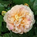 Фото розы Comtessa. Комтесса