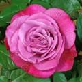 Сорт розы сорта Wonder Blue. Ванде Блу